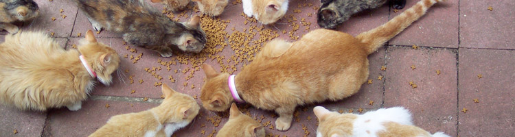 Orange Manx Cats Eating